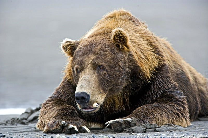 Brown Bear Tooth Issue