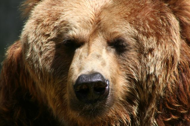 Brown Bear Full Face