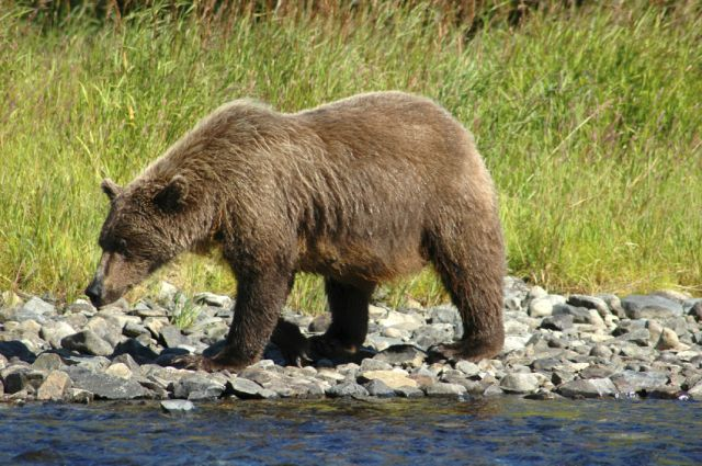 Brown Bear on Shore